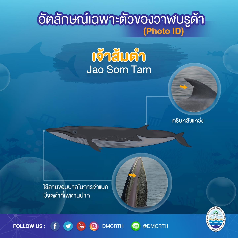 วันละวาฬ มารู้จัก ๖๐ วาฬบรูด้าในน่านน้ำไทย #๔๔ เจ้าส้มตำ