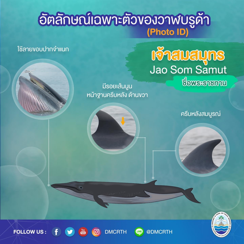 วันละวาฬ มารู้จัก ๖๐ วาฬบรูด้าในน่านน้ำไทย #๔๕ เจ้าสมสมุทร
