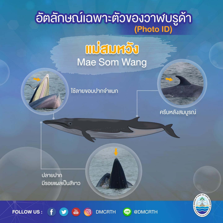 วันละวาฬ มารู้จัก ๖๐ วาฬบรูด้าในน่านน้ำไทย #๔๖ แม่สมหวัง