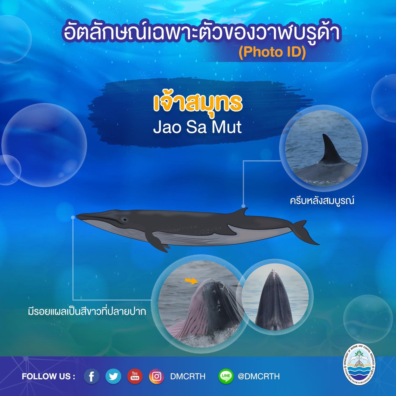 วันละวาฬ มารู้จัก ๖๐ วาฬบรูด้าในน่านน้ำไทย #๔๗ เจ้าสมุทร
