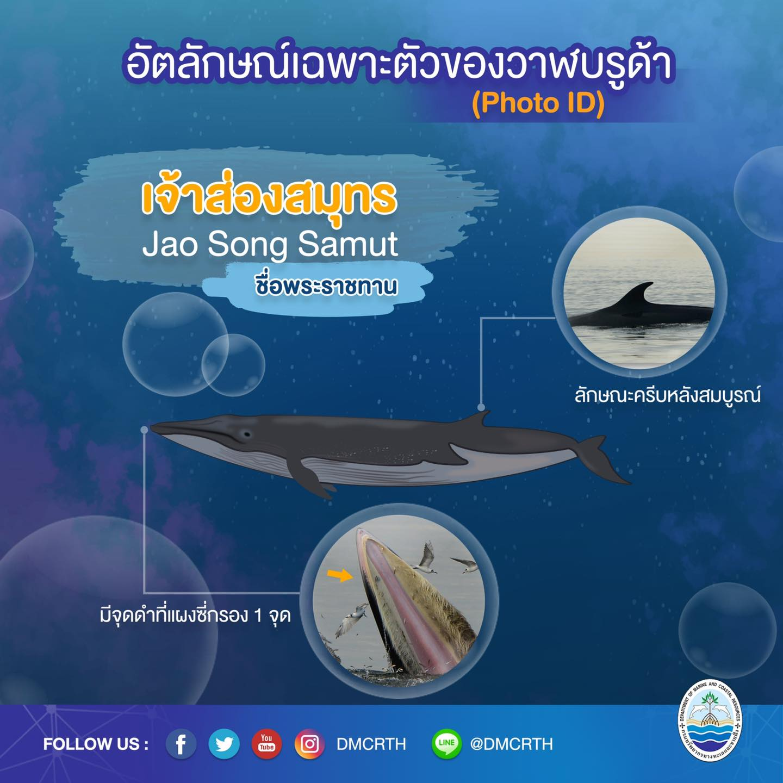 วันละวาฬ มารู้จัก ๖๐ วาฬบรูด้าในน่านน้ำไทย #๔๘ เจ้าส่องสมุทร