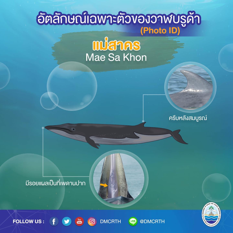 วันละวาฬ มารู้จัก ๖๐ วาฬบรูด้าในน่านน้ำไทย #๔๙ แม่สาคร