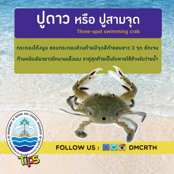 ปูดาว หรือ ปูสามจุด Three-spot swimming crab