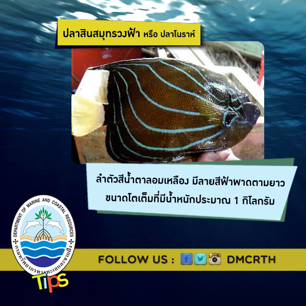 ปลาสินสมุทรวงฟ้า หรือ ปลาโนราห์
