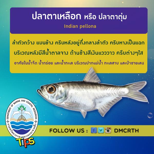 ปลาตาเหลือก หรือ ปลาตาตุ่ม