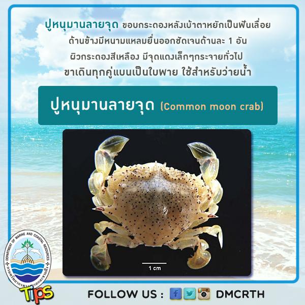 ปูหนุมานลายจุด (Common moon crab)