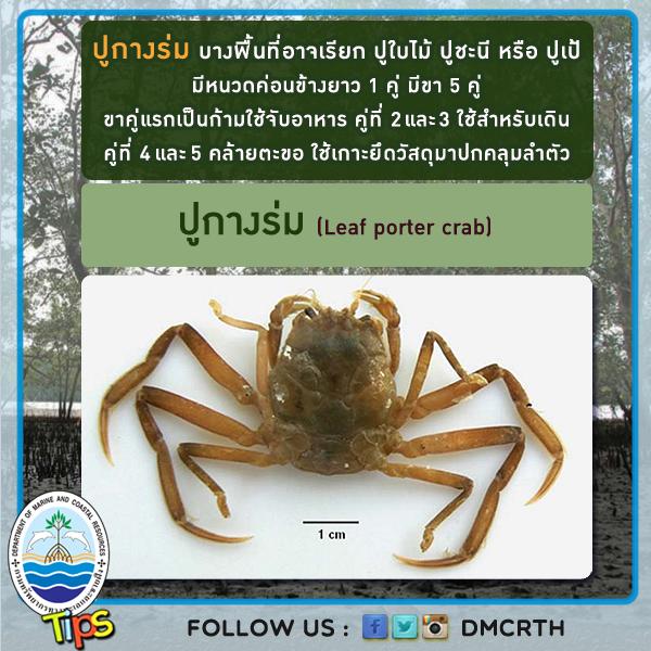 ปูกางร่ม (Leaf porter crab)