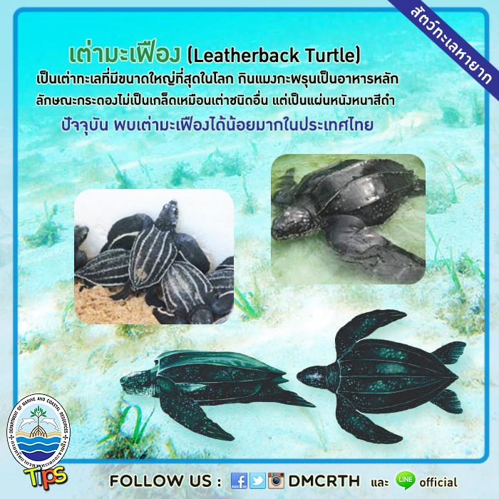 เต่ามะเฟือง (Leatherback Turtle)