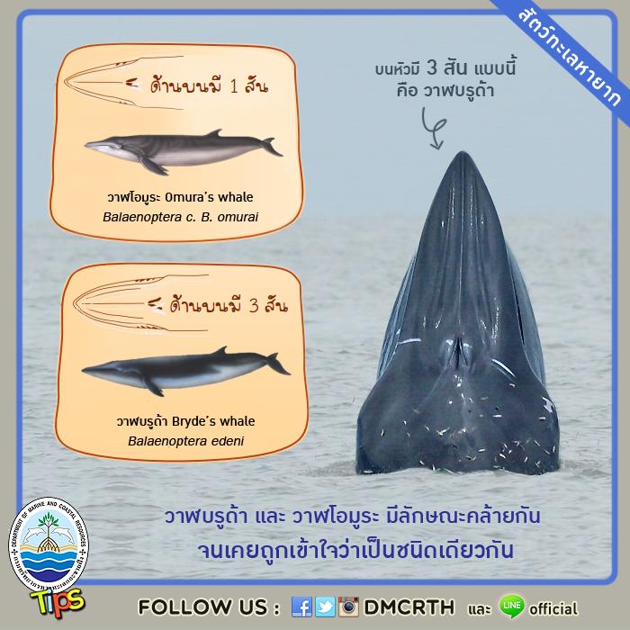 วาฬบรูด้า และวาฬโอมูระ