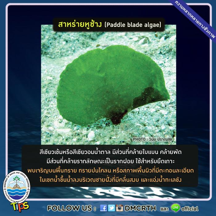 สาหร่ายหูช้าง (Paddle blade algae)