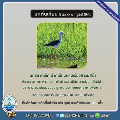 นกตีนเทียน (Black-winged Stilt)